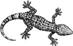Mediterrannean Gecko (Hemidactylus turcicus)