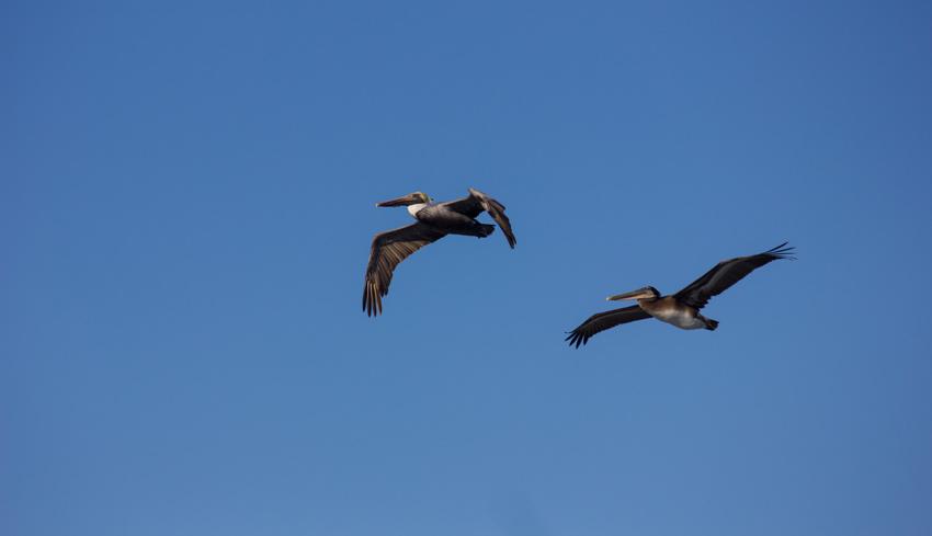 Two brown pelicans (Pelecanus occidentalis) in flight near Point Santa Cruz and the Mark Abbott Memorial Lighthouse (1967) at Steamer Lane